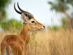 Ugandan KobPhoto by: Sergey Pisarevskiyhttps://creativecommons.org/licenses/by-nc-sa/2.0/