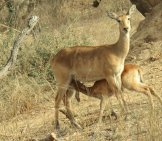 Female Kob Nursing Her Baby Photo By: One Pix //pixabay.com/photos/antelope-Calf-Young-Feeding-Female-2056649/
