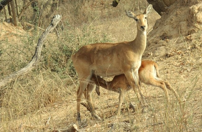 Female Kob nursing her baby Photo by: One Pix https://pixabay.com/photos/antelope-calf-young-feeding-female-2056649/