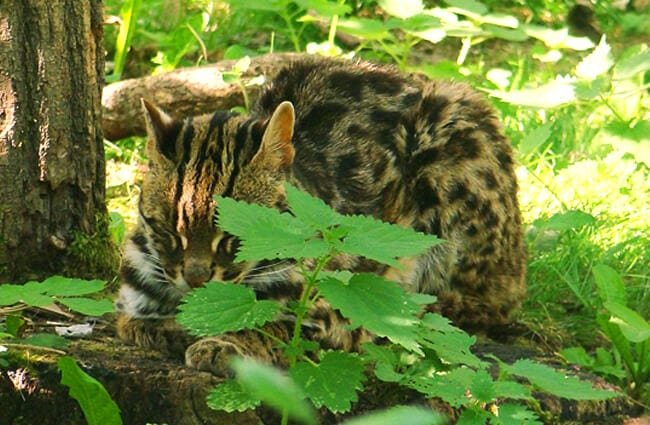 Leopard Cat napping in the forest