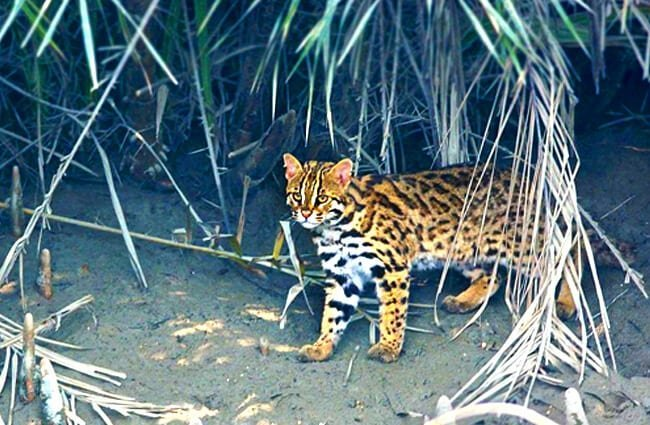 Leopard Cat Photo by: Shan2797 //creativecommons.org/licenses/by-sa/3.0/deed.en