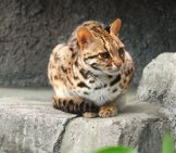 Leopard Cat Photo By: Kuribo Https://creativecommons.org/licenses/by-Sa/3.0/deed.en