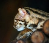 Leopard Cat Perched On A Downed Tree In The Dark Photo By: (C) Anankkml Www.fotosearch.com
