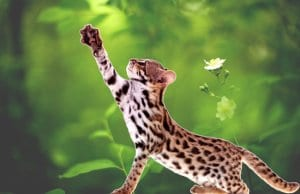 Asian Leopard CatPhoto by: (c) Farinosa www.fotosearch.com