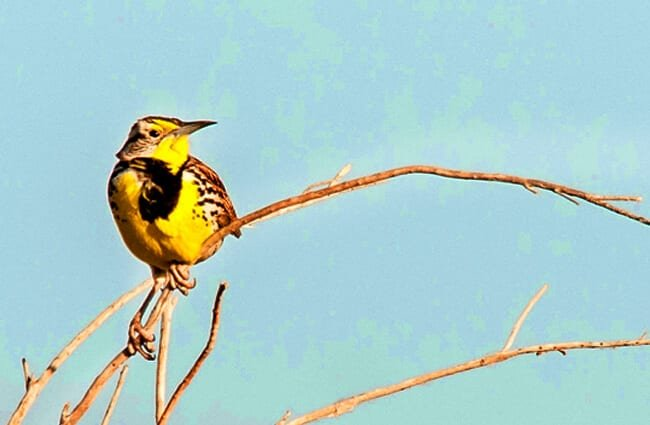 Meadowlark on a bare branch Photo by: Northwest Power and Conservation Council https://creativecommons.org/licenses/by/2.0/