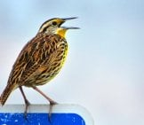 Eastern Meadowlark Photo By: Susan Young Https://creativecommons.org/licenses/by/2.0/