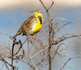 Western Meadowlark Perched High In A Tree Photo By: Kelly Colgan Azar //creativecommons.org/licenses/by/2.0/