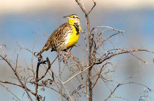 Western Meadowlark perched high in a tree Photo by: Kelly Colgan Azar https://creativecommons.org/licenses/by/2.0/
