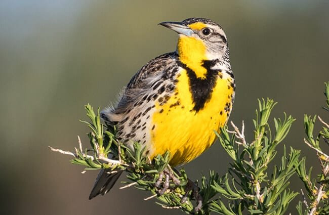 Western MeadowlarkPhoto by: Becky Matsubara//creativecommons.org/licenses/by/2.0/