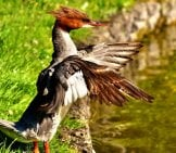 Male Merganser Ruffling His Wings In The Morning Sun Photo By: Alexas_Fotos //pixabay.com/photos/merganser-Mergus-Merganser-Duck-Bird-2794472/