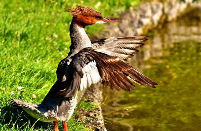 Male Merganser ruffling his wings in the morning sun Photo by: Alexas_Fotos https://pixabay.com/photos/merganser-mergus-merganser-duck-bird-2794472/