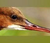 Closeup Of A Merganser -- Notice The Hook On His Bill! Photo By: Alexas_Fotos //pixabay.com/photos/merganser-Mergus-Merganser-Duck-Bird-2794435/