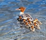 Mother Common Merganser With Her Large Brood Photo By: Brigitte Werner Https://pixabay.com/photos/common-Merganser-Waterbirds-Brood-51572/