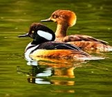 A Beautiful Merganser Couple Photo By: Tim Dickey //creativecommons.org/licenses/by-Sa/2.0/