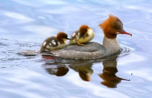 Merganser mom with two chicksPhoto by: Viktor Dahlhttps://creativecommons.org/licenses/by-sa/2.0/