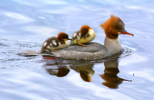 Merganser mom with two chicksPhoto by: Viktor Dahl//creativecommons.org/licenses/by-sa/2.0/