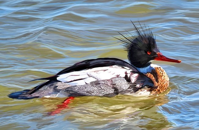 Red-Breasted Merganser Photo by: Susan Murtaugh //creativecommons.org/licenses/by-sa/2.0/