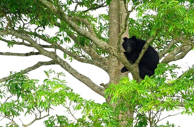 Asiatic Black Bear Photo by: tontantravel https://creativecommons.org/licenses/by-sa/2.0/