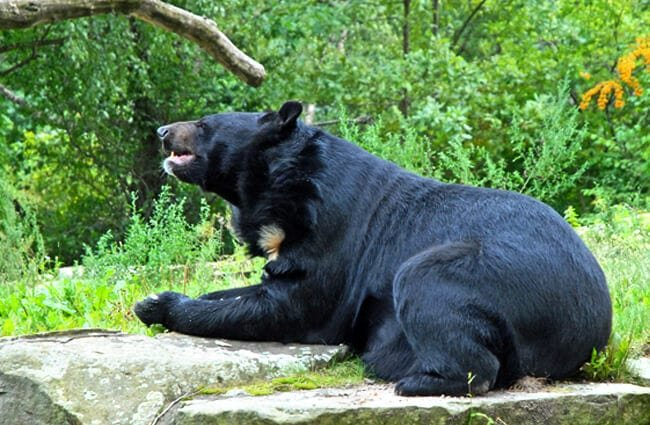 Moon Bear resting on a rock Photo by: Jean-Pierre Dalbéra https://creativecommons.org/licenses/by-sa/2.0/