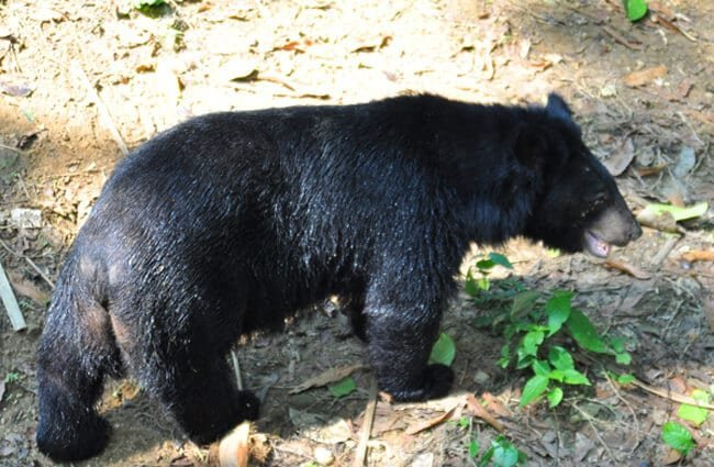 Moon Bear, rescued from poachers and illegal wildlife trade Photo by: shankar s. https://creativecommons.org/licenses/by-sa/2.0/
