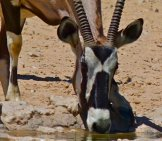 Gemsbok At Union's End Waterhole Photo By: Bernard Dupont Https://creativecommons.org/licenses/by/2.0/