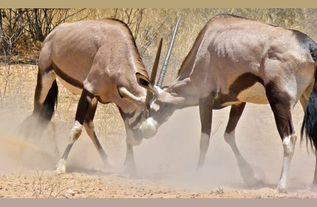 Gemsbok fighting Photo by: Bernard DUPONT https://creativecommons.org/licenses/by/2.0/