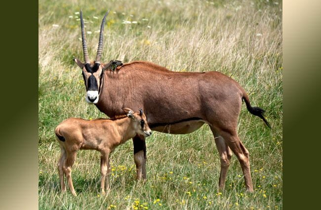 Fringe-Eared Oryx Mom and calf Photo by: Ted https://creativecommons.org/licenses/by/2.0/