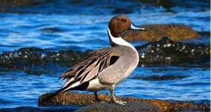 The Northern Pintail is a graceful, elegant birdPhoto by: marneejill//creativecommons.org/licenses/by-sa/2.0/