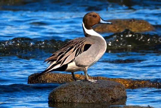 The Northern Pintail is a graceful, elegant birdPhoto by: marneejillhttps://creativecommons.org/licenses/by-sa/2.0/