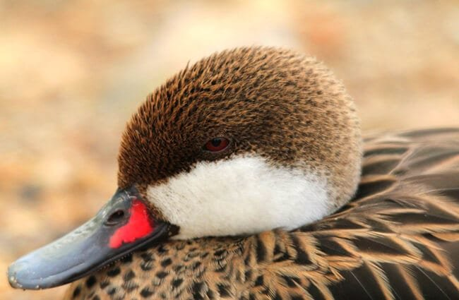 Closeup of a White-cheeked Pintail Photo by: milo bostock https://creativecommons.org/licenses/by-sa/2.0/