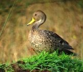 Yellow-Billed Pintail Duck Photo By: Félix Uribe Https://creativecommons.org/licenses/by-Sa/2.0/