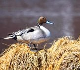 Portrait Of A Northern Pintail On A Reed Bank Photo By: Skeeze Https://pixabay.com/photos/pintail-Duck-Portrait-Waterfowl-3752472/