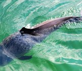 The Harbor Porpoise Photo By: Erik Christensen Cc By-Sa 3.0 Https://creativecommons.org/licenses/by-Sa/3.0