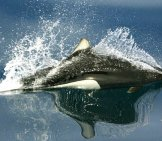 Dall'S Porpoise Photo By: Noaa Fisheries, Public Domain