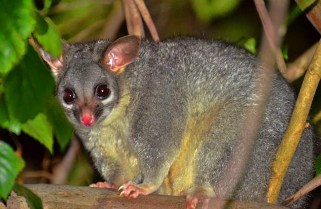 Brush-tailed Possum Photo by: Laurie Boyle https://creativecommons.org/licenses/by/2.0/