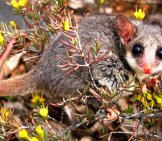The Tiny Eastern Pygmy Possum Blending In Photo By: Beyond Coal & Gas Image Library Https://creativecommons.org/licenses/by/2.0/