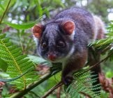 Ringtail Possum In A Tree Photo By: R Reeve Https://creativecommons.org/licenses/by/2.0/