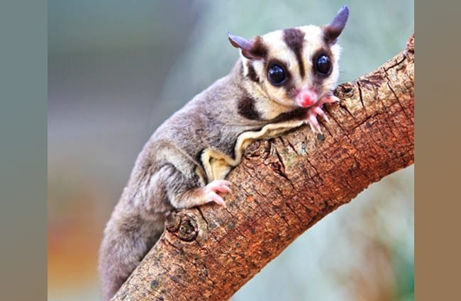Sugar Glider Photo by: (c) Reeed www.fotosearch.com