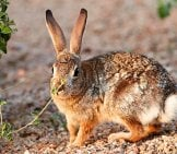Cottontail Rabbit Posing For A Pic Photo By: Henry Https://creativecommons.org/licenses/by/2.0/