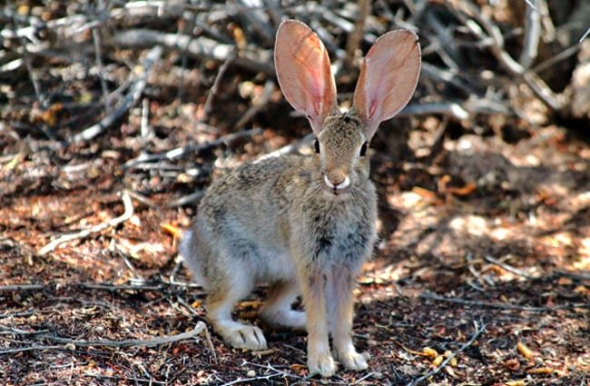 Desert Cottontail Photo by: Renee Grayson https://creativecommons.org/licenses/by/2.0/