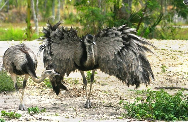 Large Rhea showing off his intimidating wings Photo by: Matthew Hoelscher https://creativecommons.org/licenses/by-sa/2.0/