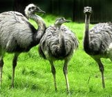 A Trio Of Rheas Photo By: Wolfgang Eckert Https://pixabay.com/photos/rhea-Bird-Flightless-Bird-Portrait-3053147/