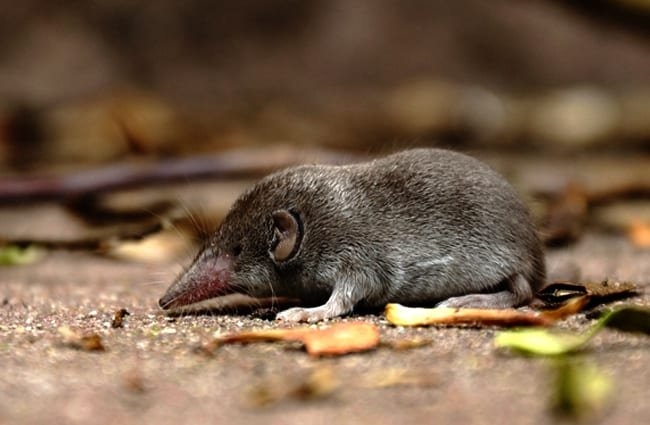Searching for food Photo by: Ralph Häusler https://pixabay.com/photos/shrew-mouse-grey-nature-rodent-1339117/