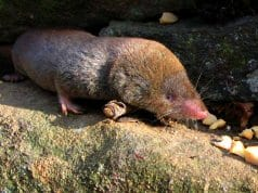 Short-tailed ShrewPhoto by: Gilles Gonthier//creativecommons.org/licenses/by/2.0/