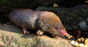 Short-tailed ShrewPhoto by: Gilles Gonthierhttps://creativecommons.org/licenses/by/2.0/