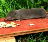 Short-Tailed Shrew Photo By: Gilles Gonthier Https://creativecommons.org/licenses/by/2.0/