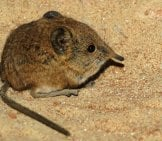The Tiny Elephant Shrew Photo By: Karsten Paulick Https://pixabay.com/photos/elephant-Shrews-Tree-Shrews-784371/