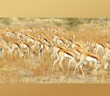 "Springbok Herd Grazing Photo By: Gregory ""slobirdr"" Smith Https://creativecommons.org/licenses/by-Sa/2.0/"