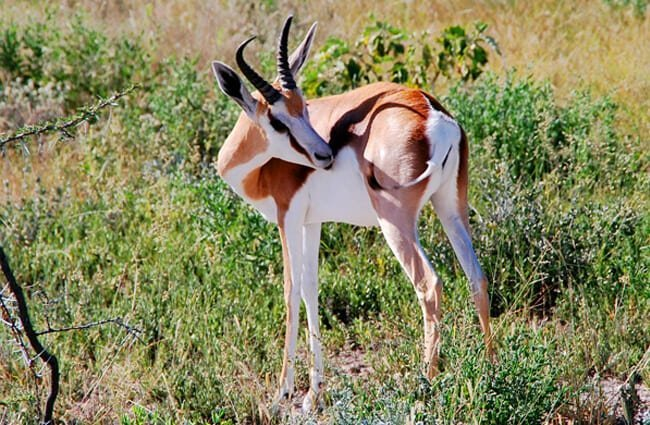 A stunning Springbok posing for a pic Photo by: katja https://pixabay.com/photos/springbok-animal-africa-animals-61702/