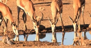 Bachelor Springbok herd at the water holePhoto by: Gary Simons//pixabay.com/photos/springbok-drinking-waterhole-1630317/